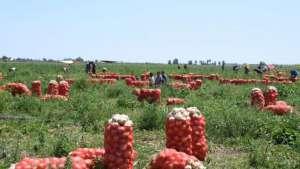 Çiftçi, kilogramını 40 kuruşa satamayınca, soğanları çürümeye bıraktı.