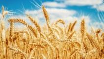 Eski Ziraat Odası Başkanı: 'Çiftçi buğday ekmiyor, aç kalacağız'